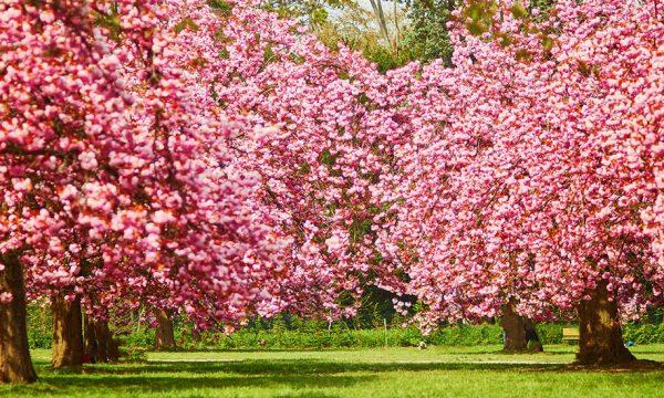 Hanami : 9 lieux près de chez vous pour admirer les cerisiers en fleurs