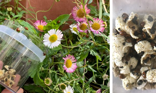 Comment j'ai récupéré des larves de coccinelles pour les élever dans mon appartement