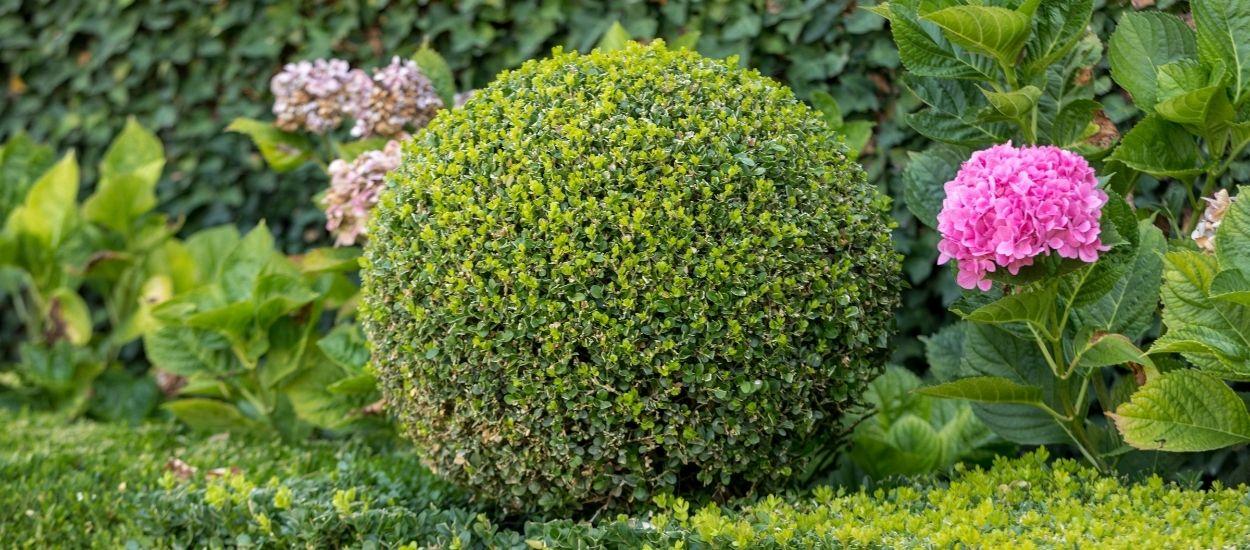 Comment tailler et faire de vos plantes des œuvres d'art grâce à l'art topiaire ?