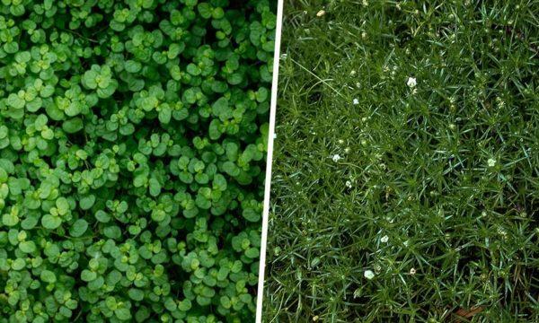 Plantes couvre-sol : Voici 10 alternatives végétales au gazon pour votre jardin