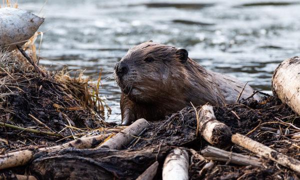 En Californie, les pouvoirs publics ont économisé de l'argent en utilisant des castors pour restaurer la biodiversité