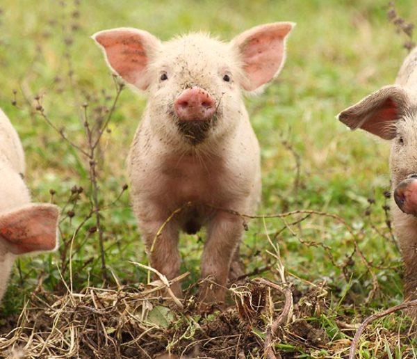 lapin-et-cochon-d'Inde-heureux