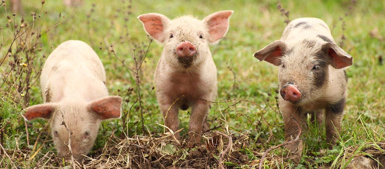 Pour les sauver de l'abattoir, parrainez un petit cochon ou une poule !