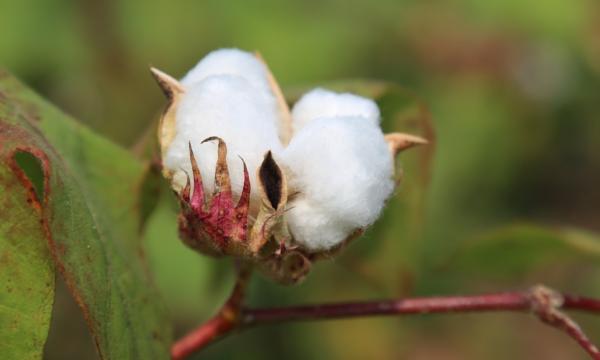 Et si vous faisiez pousser du coton dans votre jardin ?